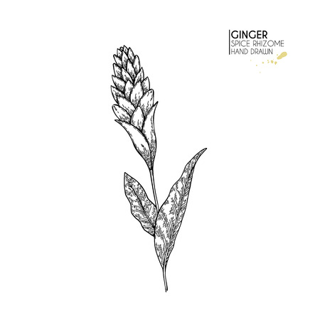 Hand drawn ginger flower. Vector engraved illustration. Spicy rhizhome vegetable. Food ingredient, aromatherapy, cooking. For cosmetic package design, medicinal herb, treating, healt care
