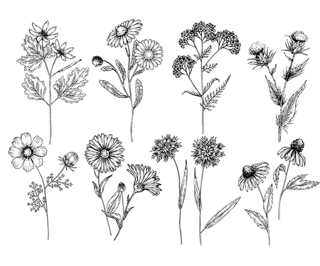 Hand drawn wild hay flowers. Medical herbs and plants. Calendula, Chamomile, Cornflower, Celandine, Cosmos, Yarrow, Thistle, Echinacea. Engraved Cosmetic essential oil package herbal tea medicine.