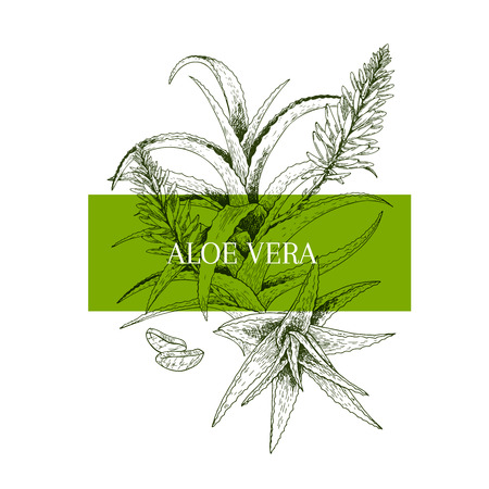Hand drawn aloe vera branch and flower. Engraved vector banner. healing. Food ingredient, aromatherapy, cooking. For cosmetic package design, medicinal herb, treating, healt care Ilustração