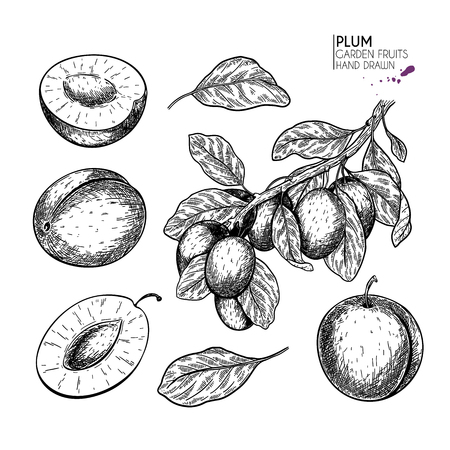 Hand drawn whole plum, slice and branch. Vector engraved illustration. Juicy natural fruit. Food healthy ingredient. For cooking, cosmetic package design, medicinal herb, treating, healt care Ilustrace