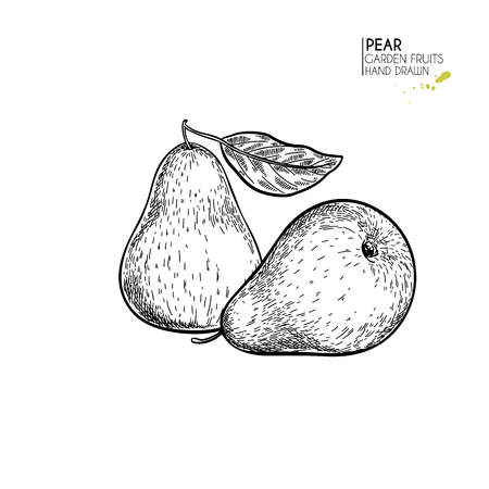 Hand drawn whole pears. Vector engraved illustration. Juicy natural fruit. Food healthy ingredient. For cooking, cosmetic package design, medicinal herb, treating, healt care