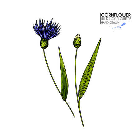 Hand drawn wild hay flowers. Colored cornflower. Vector medical herb. Vintage engraved art. Botanical illustration. Good for cosmetics, medicine, treating, aromatherapy, package design field bouquet