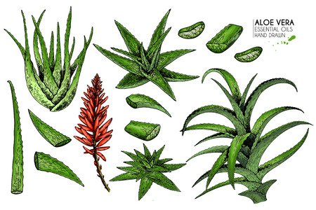 Hand drawn set of aloe vera. Engraved colored vector illustration. Medical, cosmetic plant. Moisturizing serum, healthcare. Good for cosmetics, medicine, treating, aromatherapy package design skincare