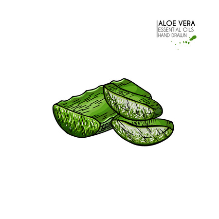 Hand drawn aloe vera sliced leaves. Engraved colored vector illustration. Medical, cosmetic plant. Moisturizing serum, healthcare. Good for cosmetics, medicine, treating, package design, skincare Ilustracja