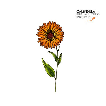Hand drawn wild hay flowers. Vector colored calendula flower. Medical herb. Vintage engraved art. Botanical illustration. Cosmetics, medicine, treating, aromatherapy, nursing, package design Standard-Bild - 126815803