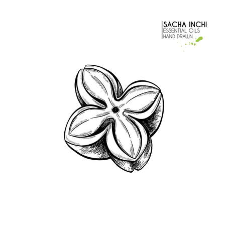 Hand drawn sacha inchi star capsula. Engraved vector illustration. Medical, cosmetic plant. Moisturizing serum,essential oil. For cosmetics, medicine, treating, aromatherapy package design skincare