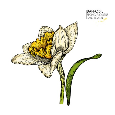 Hand drawn set of colored daffodil or narcissus flowers. Vector engraved art. Spring garden blossoms. Monocrome sketch. Good for wedding card, party decoration, greeting flyer, poster, banner design Vettoriali