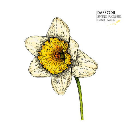 Hand drawn set of colored daffodil or narcissus flowers. Vector engraved art. Spring garden blossoms. Monocrome sketch. Good for wedding card, party decoration, greeting flyer, poster, banner design Ilustração