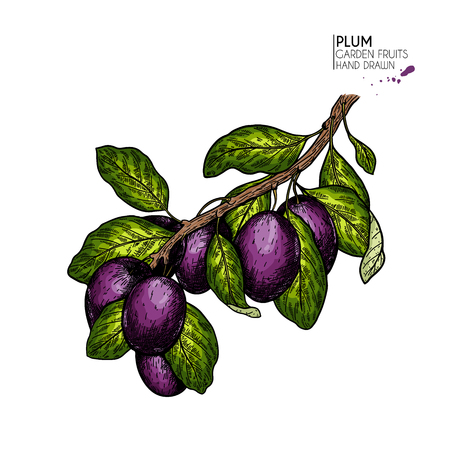 Hand drawn colored plum branch. Vector engraved illustration. Juicy natural fruit. Food healthy ingredient. For cooking, cosmetic package design, medicinal herb, treating, healt care Ilustração