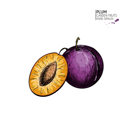 Hand drawn colored plum and half. Vector engraved illustration. Juicy natural fruit. Food healthy ingredient. For cooking, cosmetic package design, medicinal herb, treating, healt care  イラスト・ベクター素材