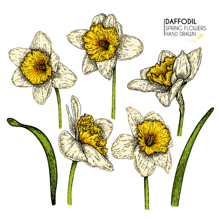 Hand drawn set of colored daffodil or narcissus flowers. Vector engraved art. Spring garden blossoms. Monocrome sketch. Good for wedding card, party decoration, greeting flyer, poster, banner design  イラスト・ベクター素材