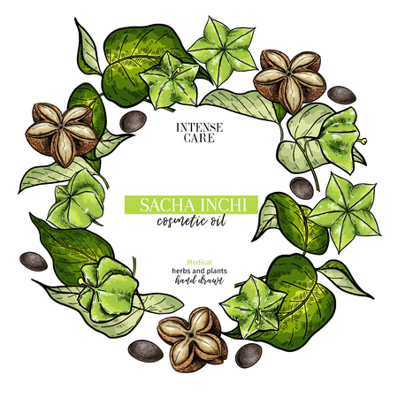 Hand drawnsacha inchi branch and fruits. Engraved colored vector banner. Moisturizing and healing.Essential oil, aromatherapy, rich protein serum. For cosmetic package design, medicinal herb, treating, healt care