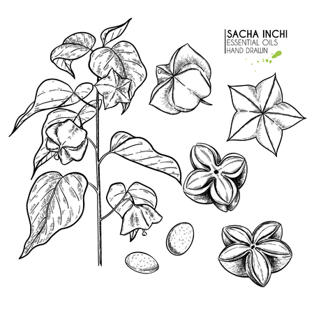 Hand drawn sacha inchi plant and seed. Engraved vector illustration. Medical, cosmetic plant. Moisturizing serum,essential oil. Cosmetics, medicine, treating, aromatherapy package design skincare Иллюстрация