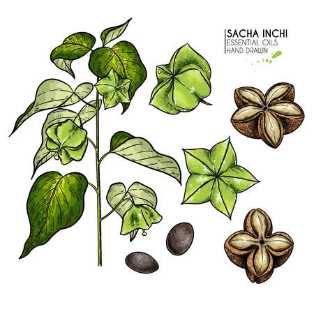 Hand drawn colored sacha inchi plant and seed. Engraved vector illustration. Medical, cosmetic plant. Moisturizing serum,essential oil. Cosmetics, medicine, aromatherapy package design skincare
