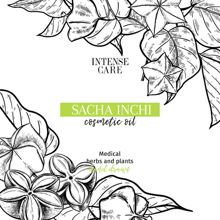 Hand drawnsacha inchi branch and fruits. Engraved vector banner. Moisturizing and healing.Essential oil, aromatherapy, rich protein serum. For cosmetic package design, medicinal herb, treating, health