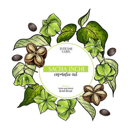 Hand drawnsacha inchi branch and fruits. Engraved colored vector banner. Moisturizing and healing.Essential oil, aromatherapy, rich protein serum. For cosmetic package design, medicinal herb, treating