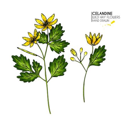 Hand drawn wild hay flowers. Celandine flower. Colored vintage engraved art. Botanical illustration. Good for cosmetics, medicine, treating, aromatherapy, nursing, package design, field bouquet Illustration