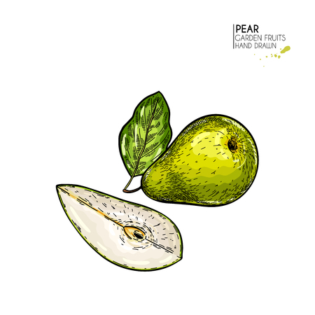Hand drawn sliced and whole pear. Vector coloredengraved illustration. Juicy natural fruit. Food healthy ingredient. For cooking, cosmetic package design, medicinal herb, treating, health care
