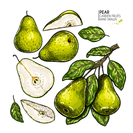 Hand drawn whole, sliced pear and branch. Vector colored engraved illustration. Juicy natural fruit. Food healthy ingredient. For cooking, cosmetic package design, medicinal herb, treating, healthcare 矢量图像