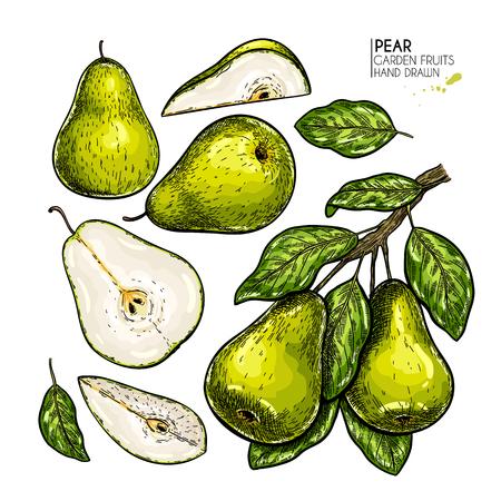 Handgezeichnete ganze, geschnittene Birne und Zweig. Vektor farbige gravierte Illustration. Saftige natürliche Frucht. Lebensmittel gesunde Zutat. Zum Kochen, Design von Kosmetikverpackungen, Heilkraut, Behandlung, Gesundheitswesen Vektorgrafik