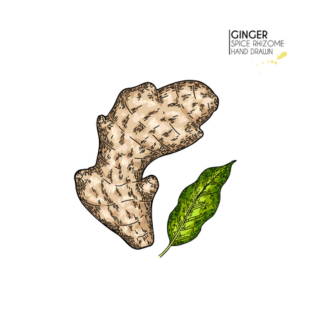 Hand drawn ginger root and leaf. Vector colored engraved illustration. Spicy rhizhome vegetable. Food ingredient, aromatherapy, cooking. Cosmetic package design, medicinal herb, treating, healthcare