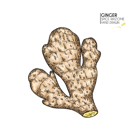 Hand drawn ginger root. Vector colored engraved illustration. Spicy rhizhome vegetable. Food ingredient, aromatherapy, cooking. For cosmetic package design, medicinal herb, treating, healthcare