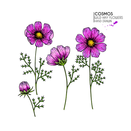 Hand drawn wild hay flowers. Vector cosmos or cosmea flower. Vintage engraved colored art. Botanical illustration. Good for cosmetics, medicine, treating, aromatherapy, nursing, package design