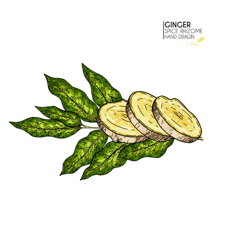 Hand drawn ginger root slice and leaf. Vector colored engraved illustration. Spicy rhizhome vegetable. Food ingredient, aromatherapy, cooking. For cosmetic package design, medicinal herb, healthcare