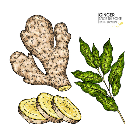 Hand drawn ginger root and leaves. Vector colored engraved illustration. Spicy rhizhome vegetable. Food ingredient, aromatherapy, cooking. For cosmetic package design, medicinal herb, healthcare