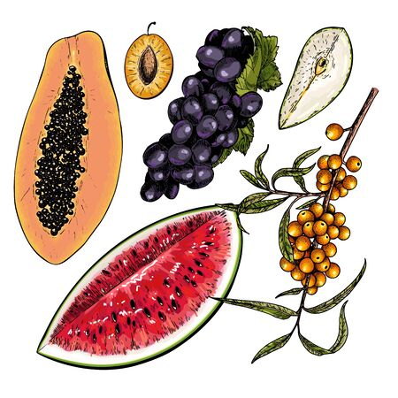 Hand drawn set of tropical fuits. Vector colored isolated objects. Sea buckthorn and grape branch, papaya, watermelon, pear, plum slices. Restaurant menu, food package. Summer exotic harvest Ilustrace