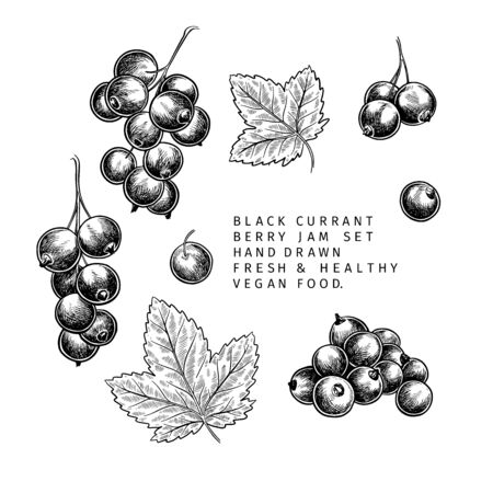 Hand drawn black currant branch, leaf and berry. Engraved vector illustration. Blackberry agriculture plant. Summer harvest, jam or mamalade vegan ingredient. Menu, package, cosmetic and food design Иллюстрация