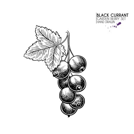 Hand drawn black currant branch, leaf and berry. Engraved vector illustration. Blackberry agriculture plant. Summer harvest, jam or mamalade vegan ingredient. Menu, package, cosmetic and food design