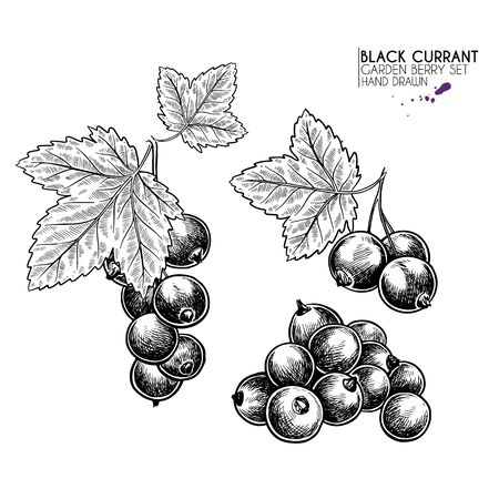 Hand drawn black currant branch, leaf and berry. Engraved vector illustration. Blackberry agriculture plant. Summer harvest, jam or marmalade vegan ingredient. Menu, package, cosmetic and food design