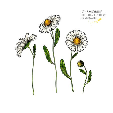 Hand drawn wild hay flowers. Chamomile or daisy flower. Vintage colored engraved art. Botanical illustration. For cosmetics, medicine, treating, aromatherapy, nursing, package design, field bouquet