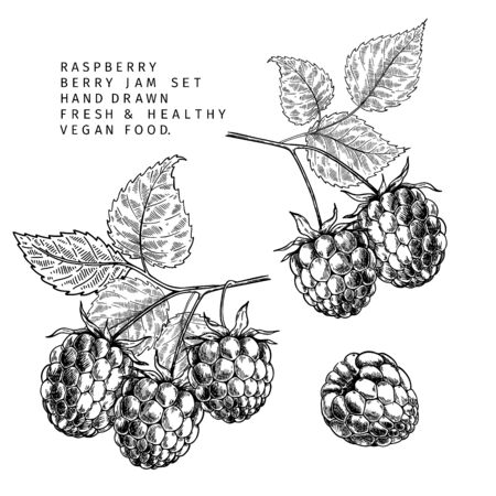 Hand drawn raspberry branch, leaf and berry. Engraved vector illustration. Bramble agriculture plant. Summer harvest, jam or marmalade vegan ingredient. Menu, package, cosmetic and food design Иллюстрация