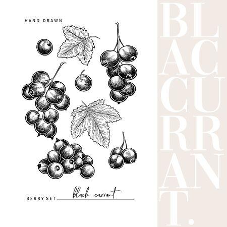 Hand drawn black currant branch, leaf and berry. Engraved vector illustration. Blackberry agriculture plant. Summer harvest, jam or marmalade vegan ingredient. Menu, package, cosmetic and food design Banco de Imagens - 148675115
