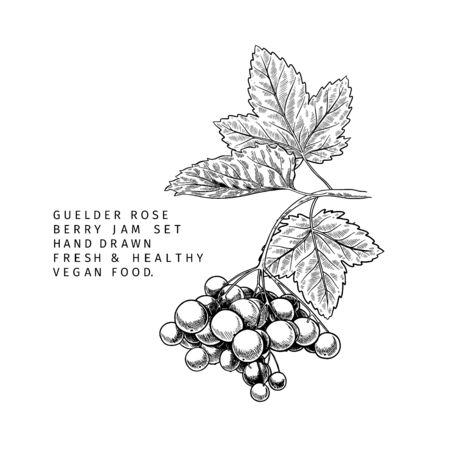 Hand drawn guelder rose branch, leaf and berry. Engraved vector illustration. Virginity agriculture plant. Summer harvest, jam or marmalade vegan ingredient. Menu, package, cosmetic and food design Vettoriali