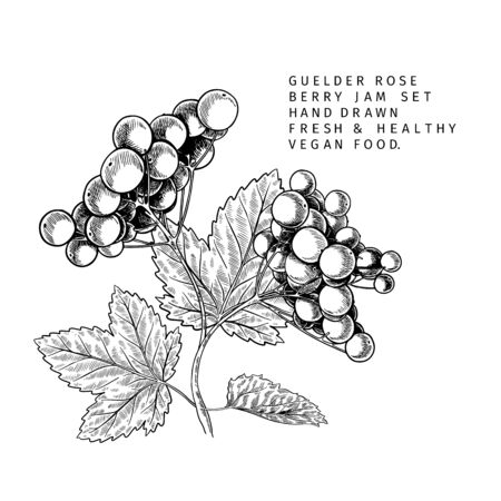 Hand drawn guelder rose branch, leaf and berry. Engraved vector illustration. Virginity agriculture plant. Summer harvest, jam or marmalade vegan ingredient. Menu, package, cosmetic and food design Banco de Imagens - 148757139