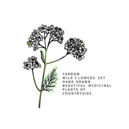 Hand drawn wild hay flowers. Yarrow milfoil. Medical herb. Colored engraved art. Botanical illustration. Good for cosmetics, medicine, treating, aromatherapy, nursing, package design field bouquet