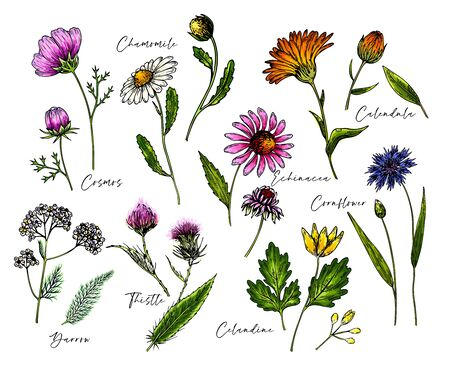 Hand drawn wild hay flowers. Medical herbs and plants. Colored Calendula, Chamomile, Cornflower, Celandine, Cosmos, Yarrow, Thistle, Echinacea. Engraved Cosmetic essential oil package herbal medicine