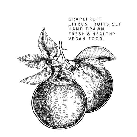 Hand drawn grapefruit fruit and leaf. Engraved vector illustration. Sweet citrus exotic plant. Summer harvest, jam or marmalade vegan ingredient. Menu, package, cosmetic, food design