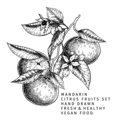Hand drawn mandarin fruits, whole and sliced, leaves and blossom. Vector illustration of tangerine. Citrus sweet vegetarian food. Good for restaurant menu, package design, food banner 向量圖像