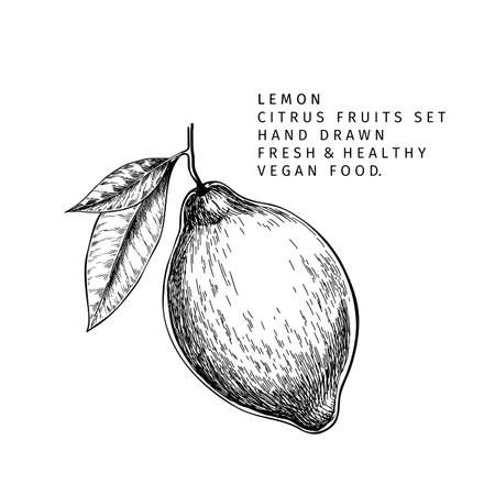 Hand drawn lemon fruit branch. Engraved vector illustration. Sour citrus exotic plant. Summer harvest, jam or cocktail vegan ingredient. Menu, package, cosmetic, food design