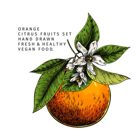 Hand drawn orange fruit and blossom. Engraved vector illustration. Sweet citrus exotic plant. Summer harvest, jam or cocktail vegan ingredient. Menu, package, cosmetic, food design Çizim