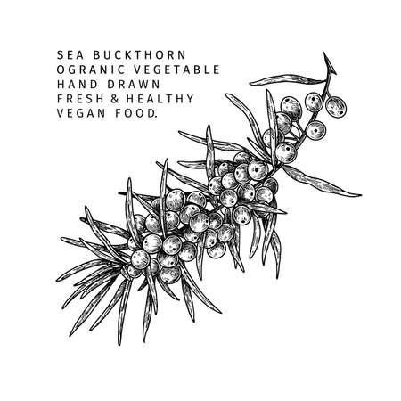 Hand drawn sea buckthorn branch. Vector engraved illustration. Healing tea and medical eatable berry. Food ingredient, cooking, beauty. For cosmetic package design, medicinal herb, treating, healthcare