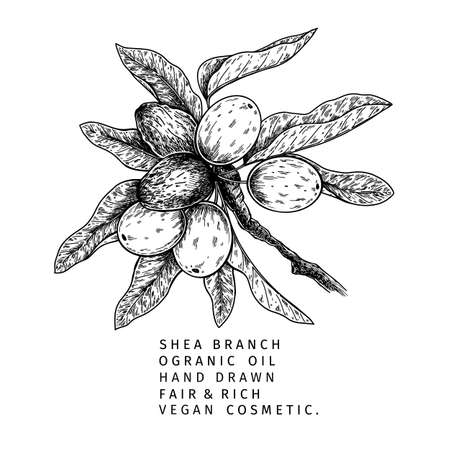 Hand drawn shea plant branch and nuts. Engraved vector illustration. Medical, cosmetic plant. Moisturizing butter, essential oil. Cosmetic, medicine, treating, aromatherapy package design skincare