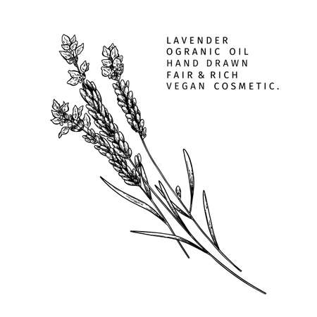 Hand drawn lavender branch. Vector floral engraved illustration. Cosmetic and medical essential oil. Healthcare, beauty ingredient. For cosmetic package design, medicinal herb, treating, aromatherapy.