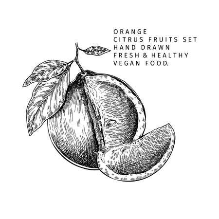 Hand drawn orange fruit and leaf. Engraved vector illustration. Sweet citrus exotic plant. Summer harvest, jam or marmalade vegan ingredient. Menu, package, cosmetic, food design.