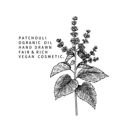 Hand drawn pathcouli branch. Vector floral engraved illustration. Cosmetic and medical essential oil. Healthcare, beauty ingredient. Cosmetic package design, medicinal herb, treating, aromatherapy.