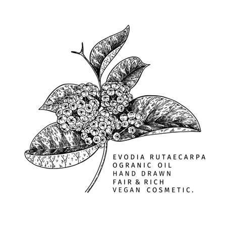 Hand drawn evodia rutaecarpa branch with berries. Engraved vector illustration. Chinese medicinal plant. Summer harvest, cosmetics of medicine vegan ingredient. Menu, package, cosmetic and food desig